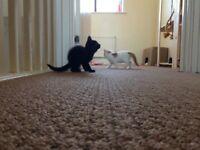 Female, all black 10 week old kitten for sale