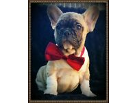 Adorable French Bulldog Male puppy