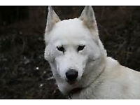 white female husky for sale 8 months old