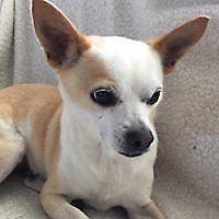 """Adult Male Dog - Chihuahua: """"Sullivan"""""""