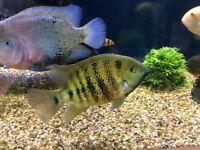 South American bocourti. Male , attractive fish, approx 8 inches.