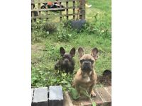 Beautiful French bull dogs for sale