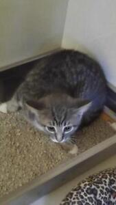 """Young Female Cat - Tabby: """"Scalawag"""""""