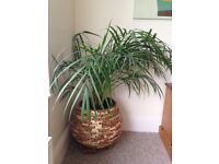 House plants, very large