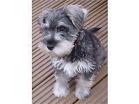 Miniature Schnauzer pups kc reg