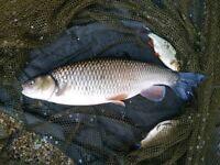 Koi pond fish - Chub