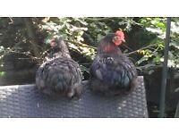 Pekin Batam chickens