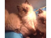 RAGDOLL KITTENS gccf pedigree