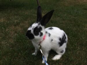 Young female rabbit for sale 30.00, no cage!