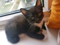 Black and white kitten male with socks