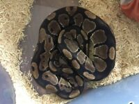 Royal pythons