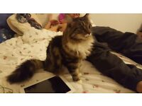 """Lost Cat """"Tammy"""" a year old, dark brown, black & white with bushy long tail tabby/ Persian cat."""
