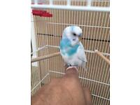 **SOLD** Male Budgie and Cage