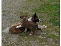 WELSH SHEEPDOG PUPPIES RED/WHITE/BRINDLE