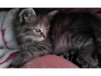 Beautiful BengalXTabby Kittens, Ready for forever homes