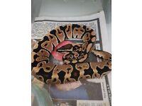 Royal python (baby)