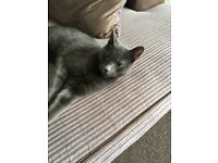 Cat for sale. Male grey shorhaired Domestic Cat