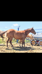 2 yr old quarter horse mare