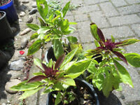 Plants for sale-3 pots of Thai Basil plants-50p each