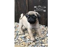Gorgeous KC Registered Pug Puppies