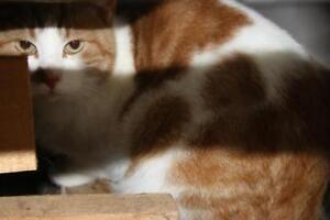 "Adult Male Cat - Domestic Short Hair (Orange & White): ""Sampson"""