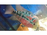 7inch female flowerhorn