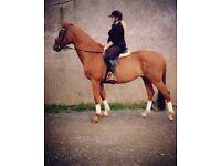 Magnificent 16Hh German sport horse