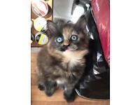 Tricolour kitten