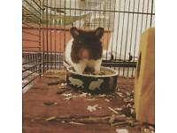 Male Syrian hamster