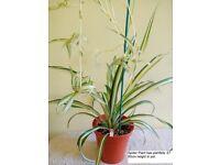 Tri Colour Spider Plant