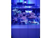 Toadstool coral frags
