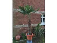 6FT+ Trachycarpus Wagnerianus Hardy Palm Tree