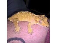 Crested gecko and vivarium