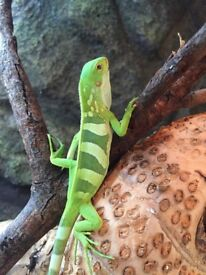 Male Fiji banded iguana with cites a10 paperwork.