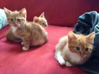 three lovely ginger kittens ready to go, 1 female 2 males