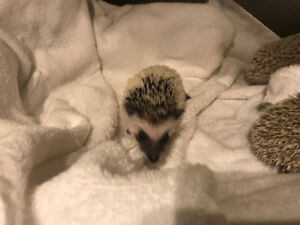 Beautiful baby Hedgehogs! Super adorable and very sweet pets!