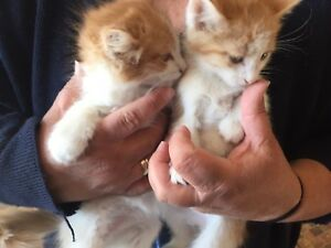 Kittens 9 weeks in cardston
