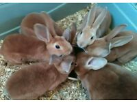 Rex rabbit doe 13wks