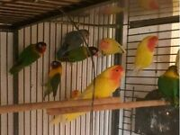 """Colourful Bird Pet """"like budgies/cockatiels"""" £30/£35 + Cages From £20"""