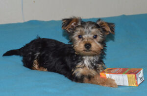 Yorkie Pup ~ 1 male ( last of litter of 4)