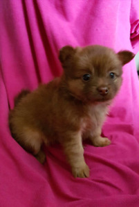 *** Pomeranian puppy ready for her forever home***