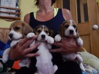 show types pure bred beagle puppies