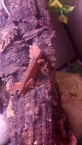 Pure red crested gecko male 2 yrs old