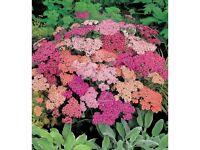 achillea summer pastels plant cottage garden favourite