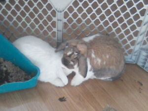 Bonded pair of bunnies looking for home