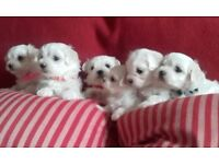 Beautiful Maltese/Bichon Puppies