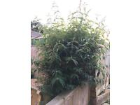 Free to collector buddleia x 2