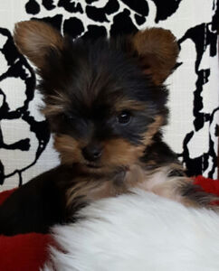 Yorkie pups (  They are here !! )