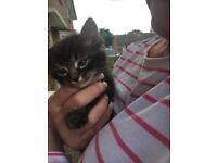 Maine coon x Burmese kittens