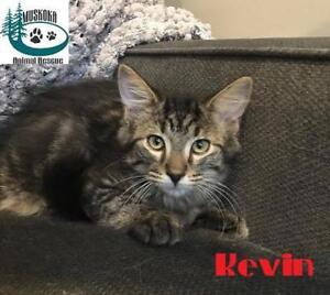 "Baby Male Cat - Domestic Long Hair: ""Kevin - Loves to Play!"""